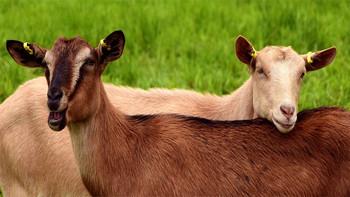 Klub verkauft Spieler für Ziegenherde